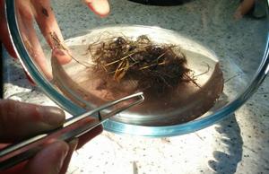 Mycorrhizal staining